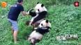 熊猫冰冰竹笋被抢,跑去向奶爸告状,奶爸的处理方式很不错!