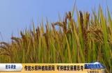 传统水稻种植陷困局 可持续发展需思考