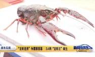 """""""龙虾选秀""""争霸赛落幕   3.4两""""龙虾王""""诞生"""