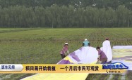 稻田畫開始栽植  一個月后市民可觀賞