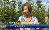 希望的田野·又是一年豐收季  晚秋黃梨惹人愛  生態種養效益高