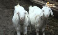 """""""心愿1+1"""":谁来买我的羊"""