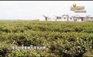 兴北村:本地春茶 清新爽口