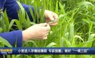 """小麦进入孕穗抽穗期   专家提醒:做好""""一喷三防"""""""