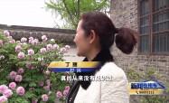 走进春天:百年牡丹绽放小院