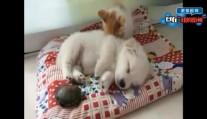 家中三宠物宝宝睡午觉,小萌猫挑了一个舒服的枕头