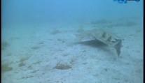 小角鲨的独门武器