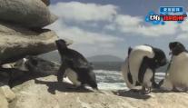 企鹅的艰难生活!虽然很心疼,但还是不厚道的笑了。企鹅冰太滑,怪我咯?