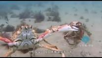 """世界上最大的螃蟹——杀人蟹?据说经常在海滩上""""偷人"""""""
