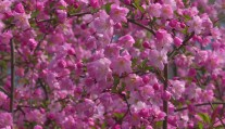 【春日美景】四月好春光 遇见最美海棠