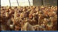 头茬香菇成熟  市场供不应求