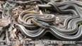 每到了这个季节, 上万条毒蛇欢聚在一起, 场面非常壮观!