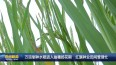 万亩制种水稻进入抽穗扬花期   红旗种业田间管理忙VA0