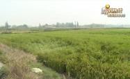 《500亩问题秧苗》追踪:稻子无处晾晒