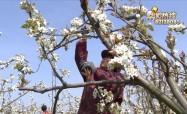梨花盛開 迎來人工授粉最佳時間