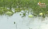 瓜田被淹,瓜农损失惨重怎么办