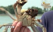 """""""庆丰收 我代言"""":膏肥黄厚的纯垛螃蟹"""
