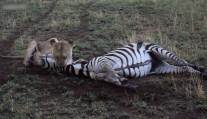 母狮刚杀死斑马, 二哥就来蹭吃, 雄狮回来大怒 你们全给我滚蛋