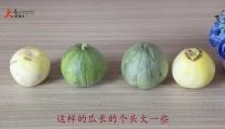 挑选甜瓜也有小技巧, 这样的瓜才是最甜的, 赶紧学学吧!