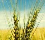 超出国家标准2倍多!泰州从进口美国小麦中查出了……