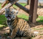 萌物!慎点!洛阳王城动物园6只老虎幼崽六一亮相