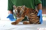 【图文】广州动物园时隔15年再有华南虎诞生