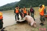【图文】母猪被山洪冲到下游20公里处 奇迹生还