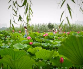 百集微视频《发现泰州之美》第十九集:莲动天德湖
