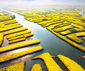 百集微視頻《發現泰州之美》第二十集:千垛菜花