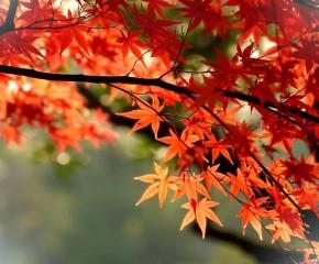 百集微視頻《發現泰州之美》第八十五集:片片楓葉情