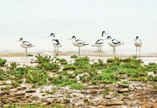 正当季,20多种候鸟聚集靖江,你认识几种?