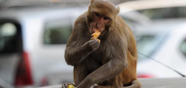 印度神庙猴子被狗追死 900村民剃去须发哀悼