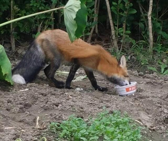 萌翻了!姜堰这个小区惊现狐狸,还不怕人!