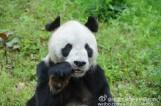 """31岁大熊猫""""盼盼""""去世 子孙超130只"""