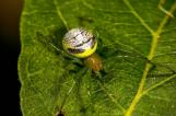 澳洲摄影师捕捉罕见蜘蛛 外形奇特似外星人
