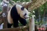 日本上野动物园大熊猫或怀孕 园方期盼熊猫宝宝