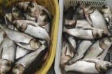 湖里鱼儿繁殖迅猛 高校请师生免费吃