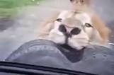 【图文】一家人开车游玩 狮子咬住车胎不松口