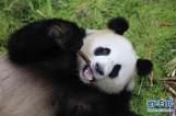 """【图文】大熊猫""""梦梦""""""""娇庆""""将赴德开展国际合作研究"""