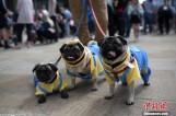 """【图文】英国举办八哥犬节 """"汪星人""""盛装亮相"""