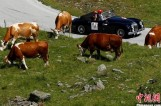 """【图集】古董车拉力赛 老爷车穿梭山间与牛群""""擦肩而过"""""""